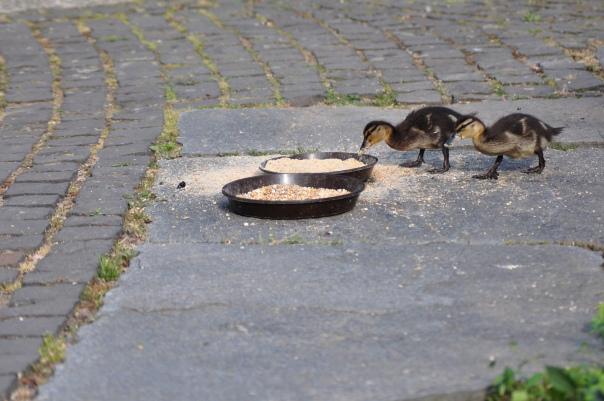 Fressende Entenküken